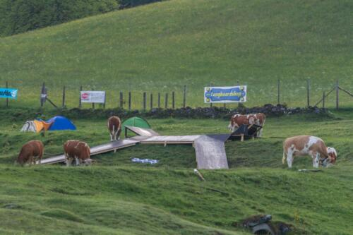 cows also loved the obstacles